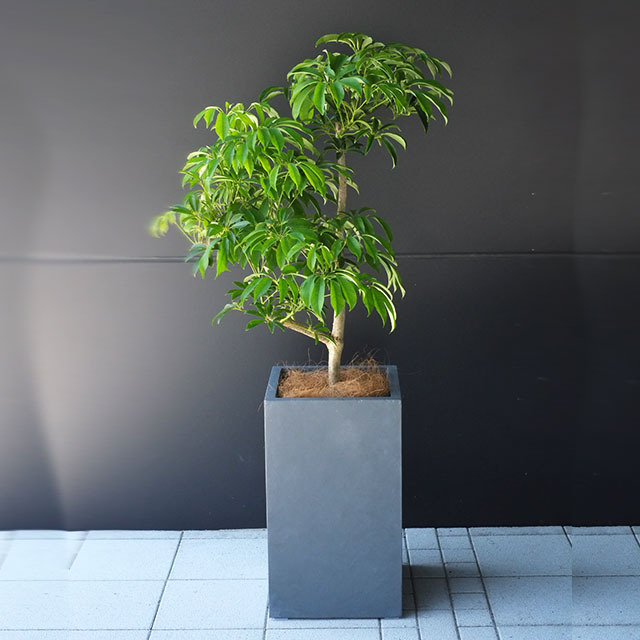 引っ越し祝いの観葉植物