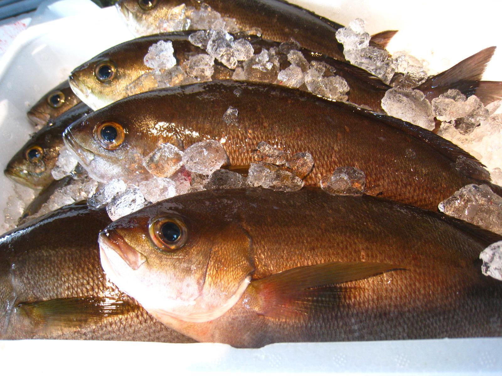 壱岐一本釣りイサキ(600g~700gサイズ)