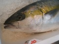 壱岐一本釣りヒラマサ3k 30%OFF