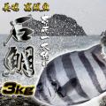 壱岐一本釣イシダイ3k 30%OFF
