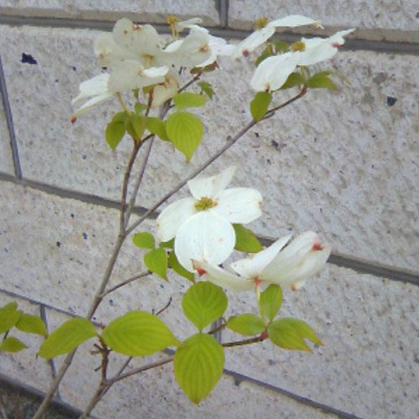 相馬グリーン ハナミズキ 白花