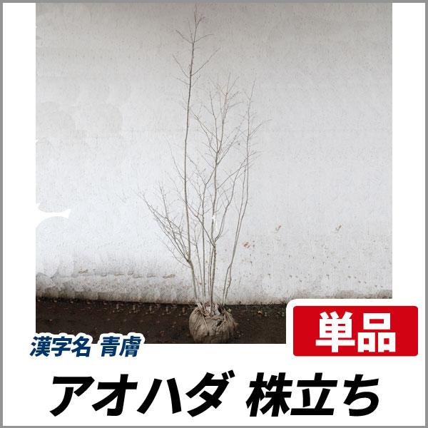 アオハダ_株_h20_001