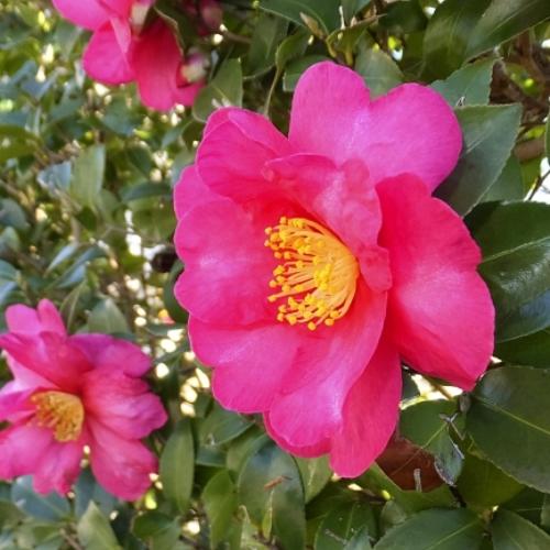 カンツバキ花