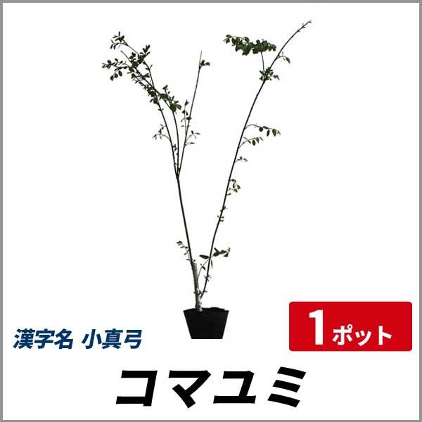 コマユミ_h08_001.jpg