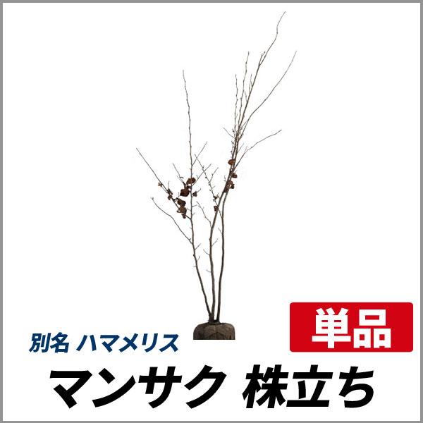 マンサク_株立ち_h20