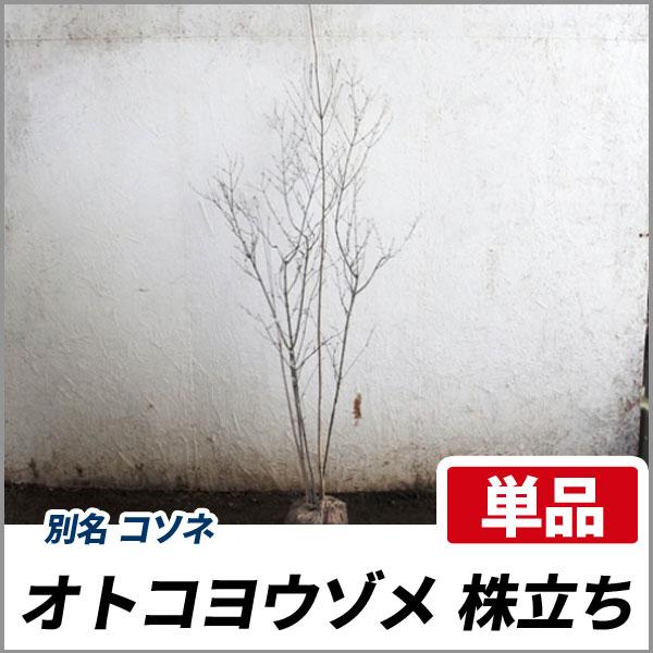 オトコヨウゾメ_株_h20_001