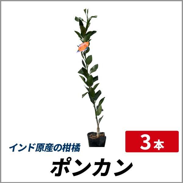 ポンカン 樹高80cm前後 3本セット