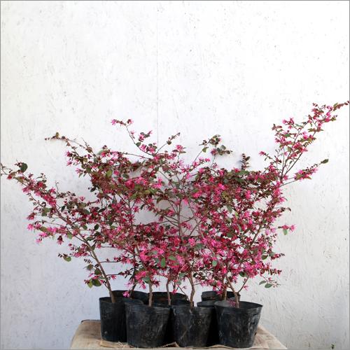 ベニバナトキワマンサク赤葉H0.5~0.6