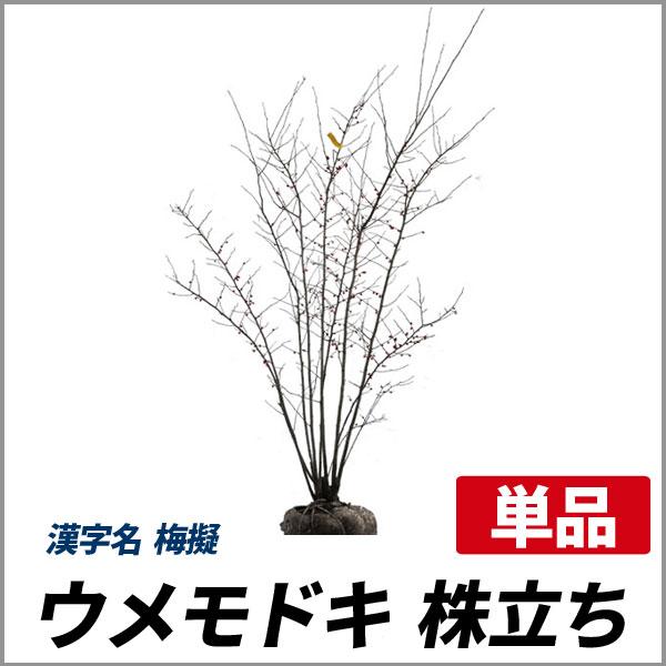 ウメモドキ_株立ち_h12_001