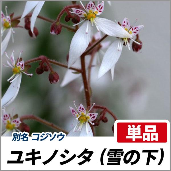 ユキノシタ_001