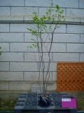 ナツハゼ 樹高1.5m前後