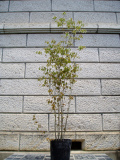 ヤマボウシ 株立ち 樹高1.5m前後