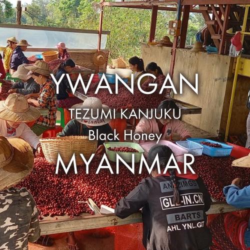 ミャンマー ユワンガン 手摘み完熟豆 ブラックハニー