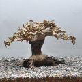 【写真の流木をお届け】水景BONSAI 榕樹(S) No.2