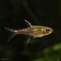 【小型美魚】ブリタニクティスイエロー