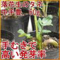 落花生の種 中手豊(なかてゆたか) 【90g(約80〜100粒)】[手むきで高い発芽率] [千葉県産ピーナッツ]