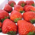 信州産 新鮮いちご紅ほっぺ(苺)12粒