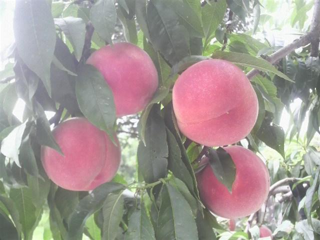 たかはし果樹園『おすすめ旬の桃セット』