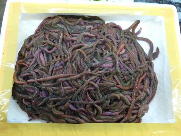 超お得! <完全養殖> スーパー青虫(青イソメ) 1kg