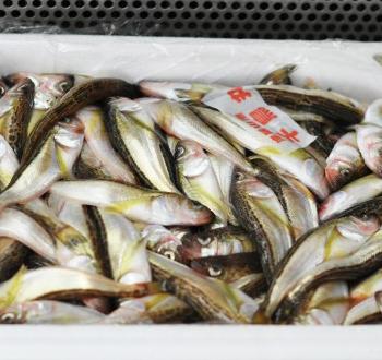 冬の日本海の味覚!はたはた箱売り 6kg【送料込】【山陰沖産】【丹後王国公式通販】