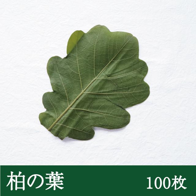 柏の葉100枚