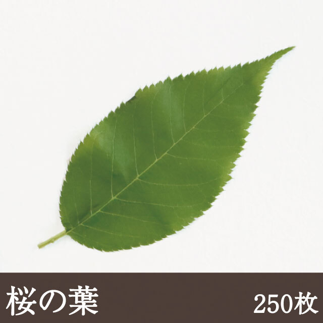 桜の葉(緑色)250枚
