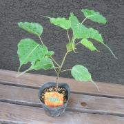 スリー・マハー菩提樹(インド菩提樹)の苗木