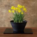 水仙鉢植え
