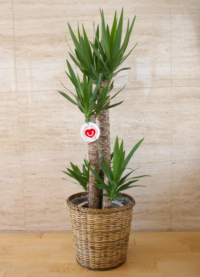 観葉植物「ユッカ」8号鉢