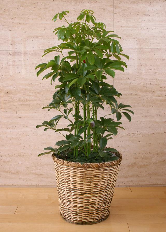 観葉植物「ホンコンカポック」8号鉢
