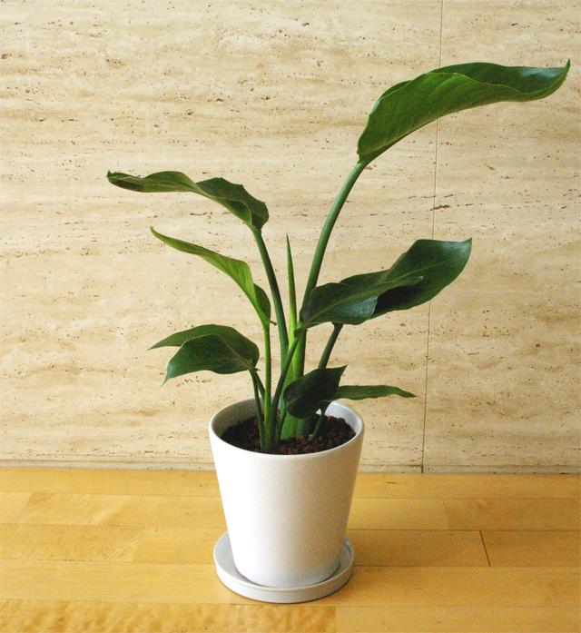 観葉植物「オーガスタ」6号鉢