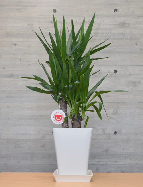 観葉植物「ユッカ」7号鉢