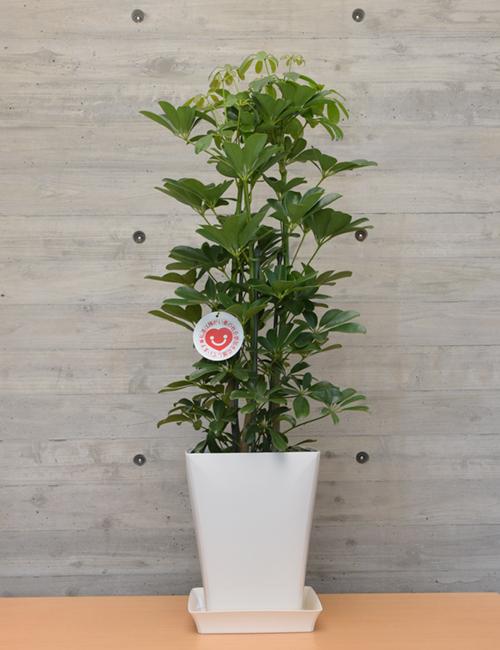 観葉植物「ホンコンカポック」7号鉢