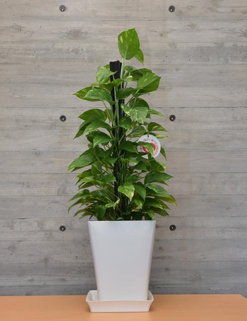 観葉植物「ポトス」7号鉢