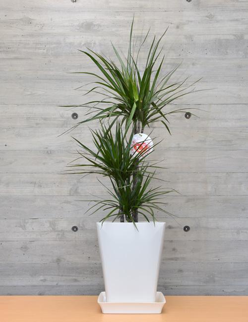 観葉植物「コンシンネン」7号鉢
