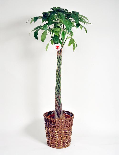 観葉植物「パキラ」10号鉢
