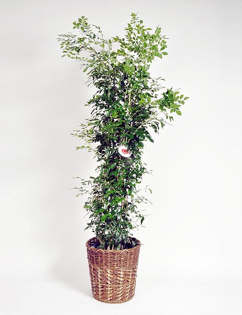 観葉植物「シルクジャスミン」10号鉢