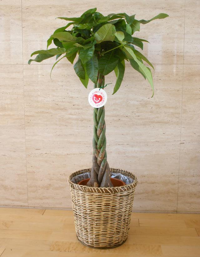 観葉植物「パキラ」8号鉢