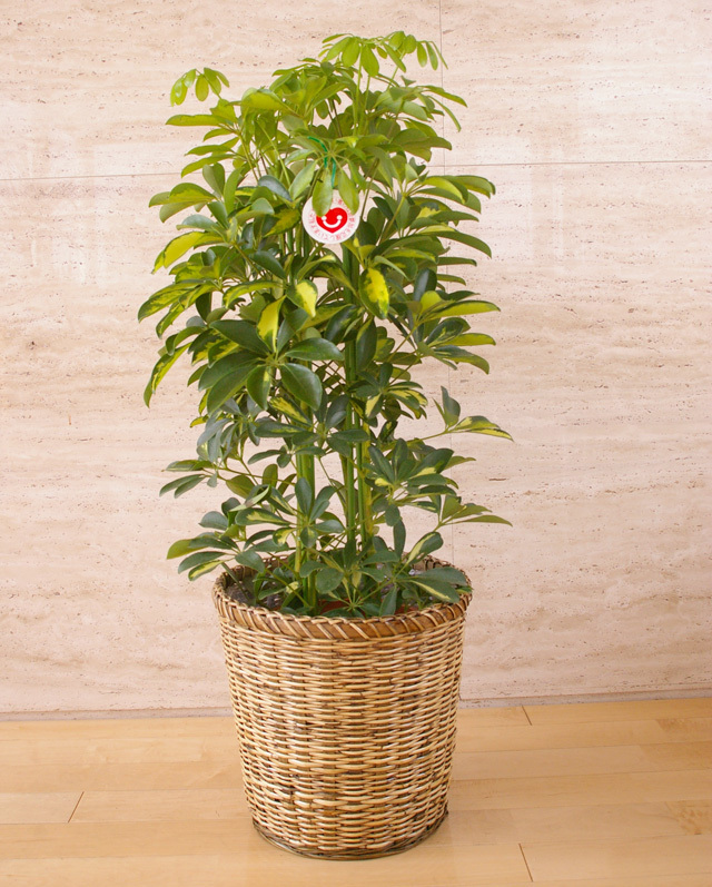 観葉植物「ホンコンカポック」(斑入り)8号鉢