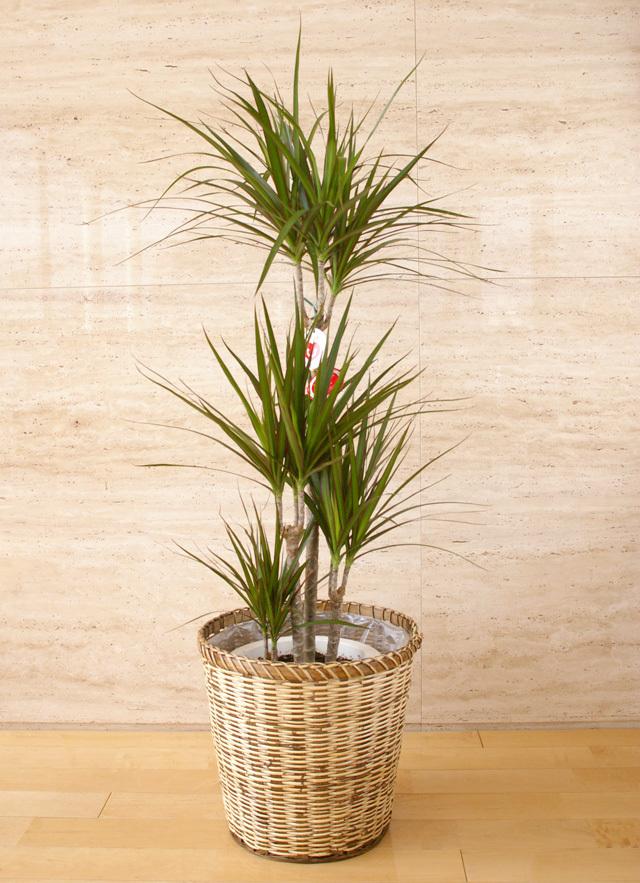 観葉植物「コンシンネン」8号鉢