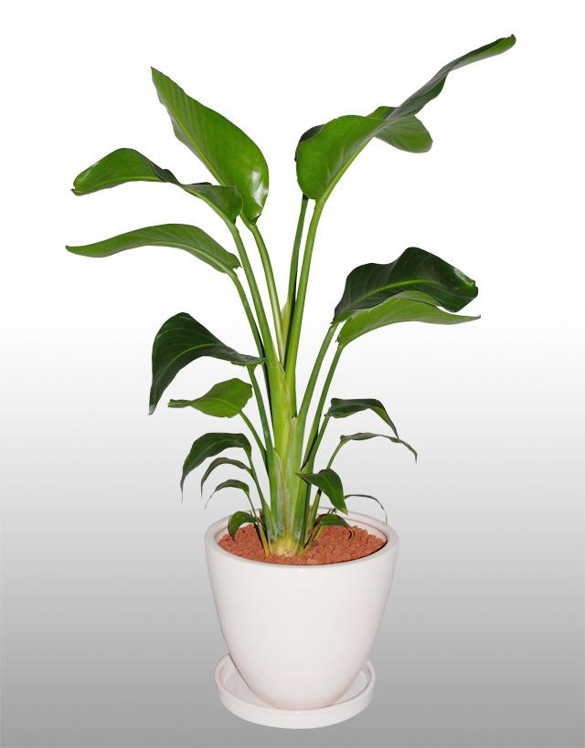 観葉植物「オーガスタ」9号鉢
