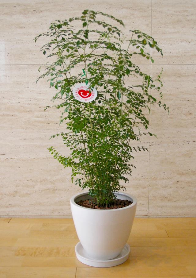 観葉植物「トネリコ」9号鉢