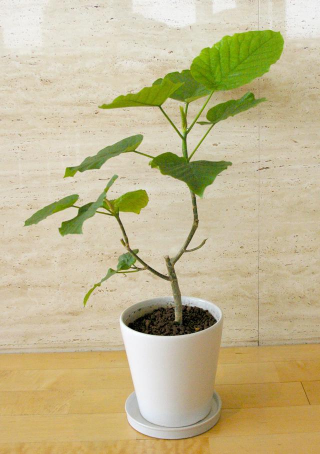 観葉植物「ウンベラータ」6号鉢