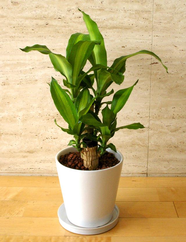 観葉植物「幸福の木」6号鉢