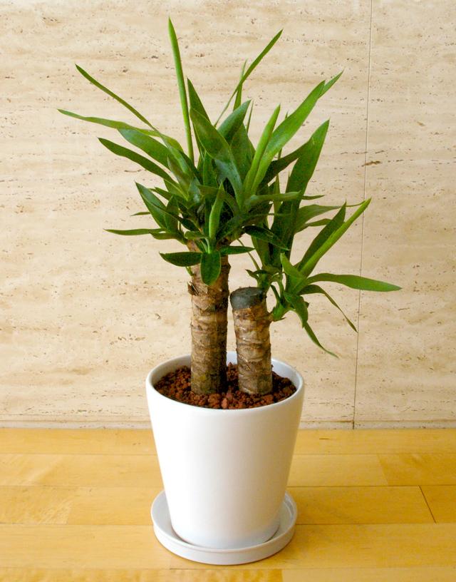 観葉植物「ユッカ」6号鉢