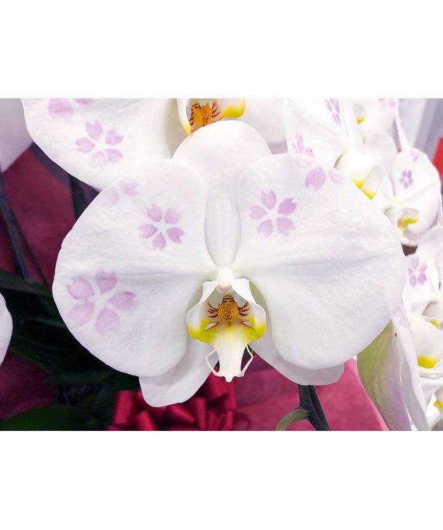 化粧蘭-桜