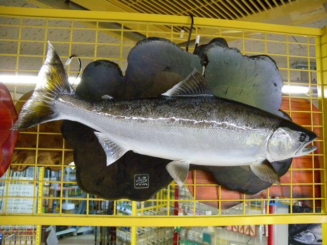 魚の剥製 サクラマス47cm