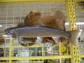 魚の剥製 イワナ 37cm 板付き