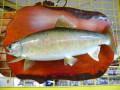 魚の剥製 ヤマメ39cm