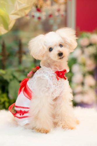 BULBU-BU(ブルブブ)デコレーションO/P【犬服小型犬ウエアセレブワンピース&スカート】
